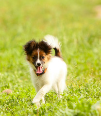 The active Papillon runs along the grass on a sunny day. A white puppy with a red head moves along the green lawn. A small dog is jumping in the street in the park. Vertical image.