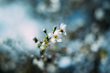 Fruit tree blossoms. Spring beginning background. Bokeh