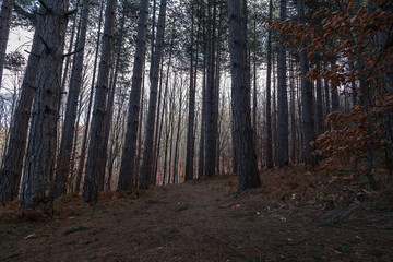 Mystery pine forest