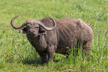 Acrylic Prints Buffalo large male African buffalo, Syncerus caffer, grazing in the hot summer sun.