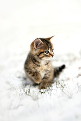 Grey Domestic Shorthair Tabby Cat Kitten Sitting the the Snow