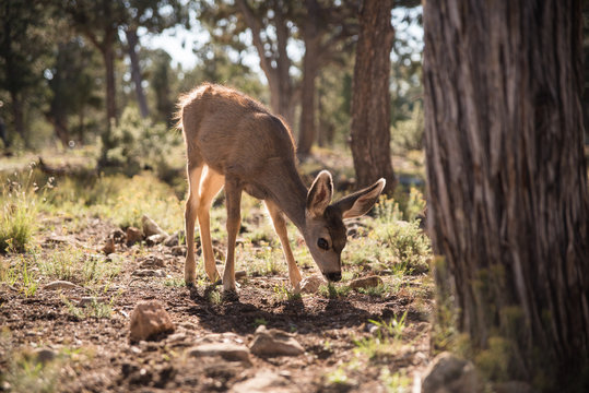 A baby deer eating in the forest of the Grand Canyon in Arizona.