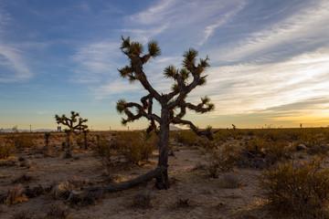 Desert Sunset Joshua Trees