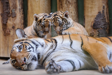 Two cute tiger cubs on lying mother