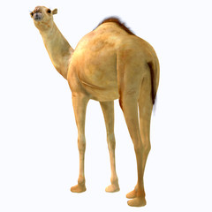 Camelops hesternus Tail - Camelops was a camel-type herbivorous animal that lived in North America during the Pleistocene Period.