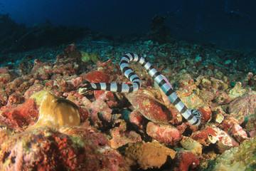 Banded Sea Snake (Krate)