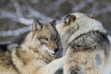 Timber wolf couple in winter