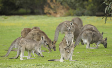 Eastern grey kangaroos with joey in   Grampians national park, Victoria, Australia.