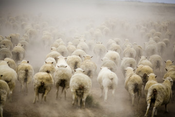 Running Sheep Australia