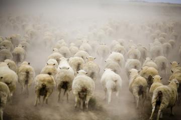 Running Sheep Australia