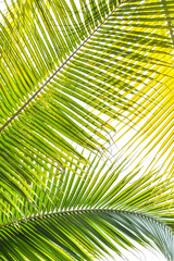 Palm Sunday background for religious holiday backdrop with green tropical tree leaves against natural sky