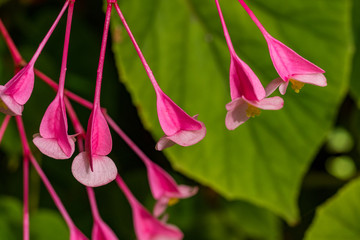 Pink Fuchsia flower with green background