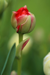 Flower tulip close-up. bud of a red terry tulip on a green blurred background. Spring flowers.