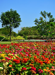 Group of colorful zinnia flower in garden Thailand