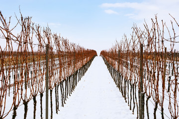 Rows of winter vineyards in southern Moravia, Czech Republic