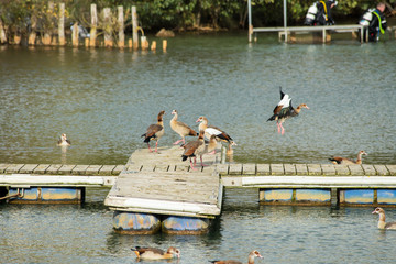 Wild geese are on a wooden pier