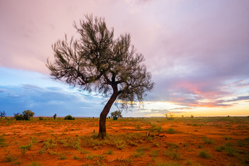 Canvas Prints Light pink A lone Hakea tree during twilight hour in the Pilbara region of North Western Australia, near the mining towns of Marble Bar and Port Hedland.