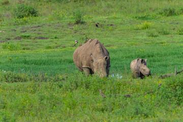 Rhino Calf Wildlife Animals