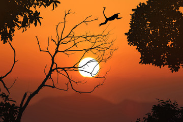 Silhouette langur jump on the leafless trees and red sky sunset