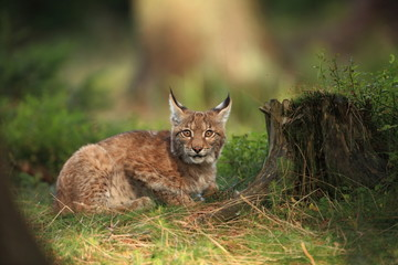 Spoed Fotobehang Lynx The wild nature of Europe. Beautiful nature of Czech. Photo was taken in the Czech Republic. Occurrence is in the whole of Europe.