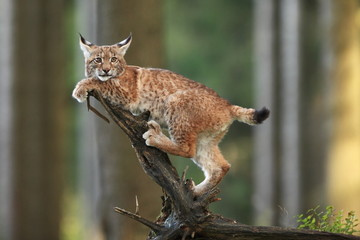 In de dag Lynx The wild nature of Europe. Beautiful nature of Czech. Photo was taken in the Czech Republic. Occurrence is in the whole of Europe.