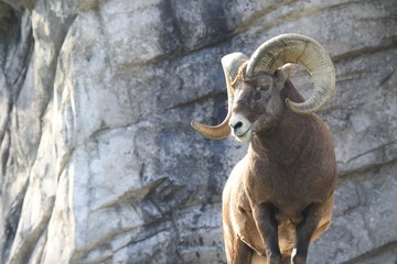 Majestic bighorn with an impressive horn
