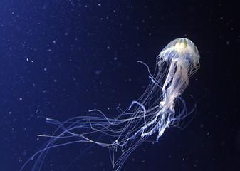 jellyfish Wall mural