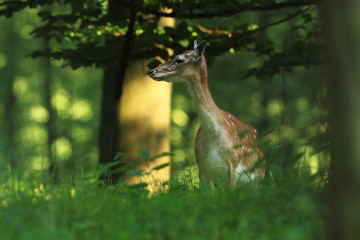 Fallow deer spotted. Photo was taken in the Czech Republic. Free nature. Beautiful animal image.