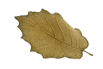 botany leaf dry on white background