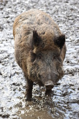 Closeup of a young brown wild boar