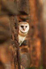 Tyto alba. Owl has a cosmopolitan type extension. He lives on all continents except Antarctica.