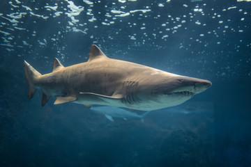 Bull Shark, Crete Aquarium.