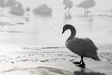 lonely sad swan walking