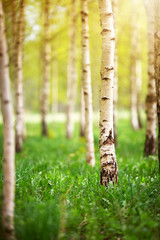 Wall Mural - birch tree forest in morning light with sunlight