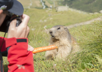 Person with red jacket feeding a carrot and taking pictures of a alpine marmot