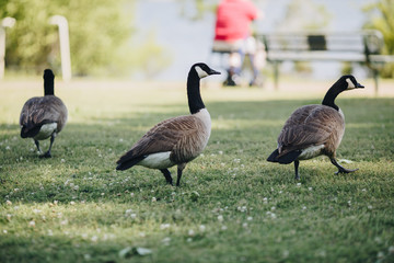Three Geese Walking Away in Green Grass of Park