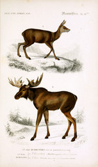Illustration of moose and deer