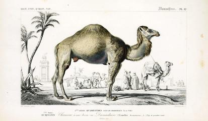 Illustration of a camel