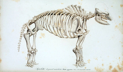 Illustration of the skeleton of the animal
