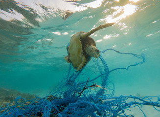 Green Sea turtle entangles on a discarded fishing net