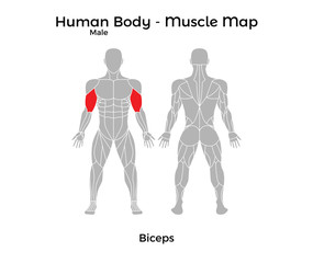 Male Human Body - Muscle map, Biceps. Vector Illustration - EPS10.