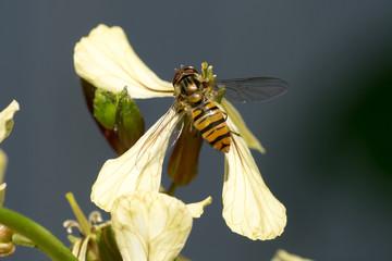 Marmalade Hoverfly (Episyrphus balteatus) on arugula flower (Eruca sativa)
