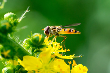 Marmalade Hoverfly (Episyrphus balteatus) on yellow flowers