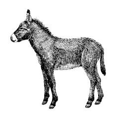 Donkey sketch style. Hand drawn illustration of beautiful black and white animal. Line art drawing in vintage style. Realistic image.