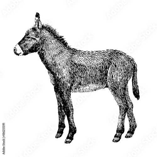Line Drawing Donkey : Quot donkey sketch style hand drawn illustration of beautiful