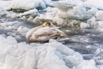 injured swan in a frozen river