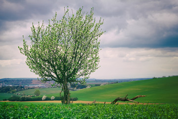 Blooming plum tree in the countryside with  field in the background . Landscape of countryside in springtime. Farmland and cloudy sky.