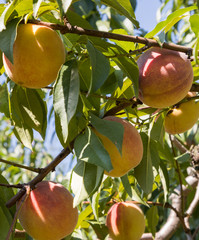 Ripe Peaches Growing on Tree Branch with Green Leaves in Dappled Sunlght