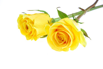 Fototapete - yellow rose isolated on the white background