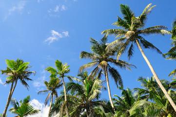 Tropical palm trees and blue sky.